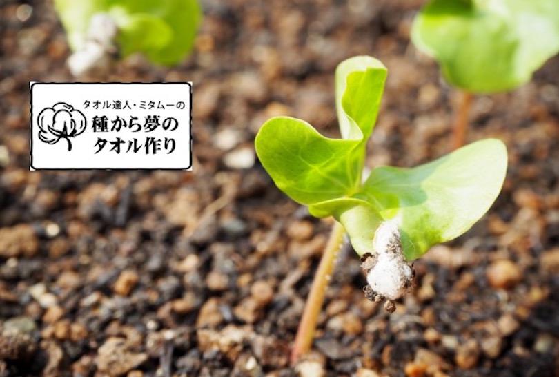 ミタムーの『種からタオル作り』 〜第2回 綿の芽は出るのか…!?編〜
