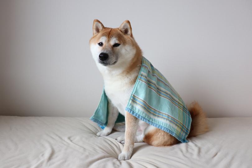 5歳の柴犬、銀次郎